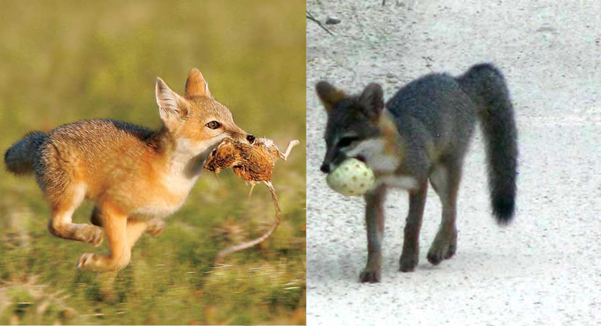 Fox Eating mice and Fruit