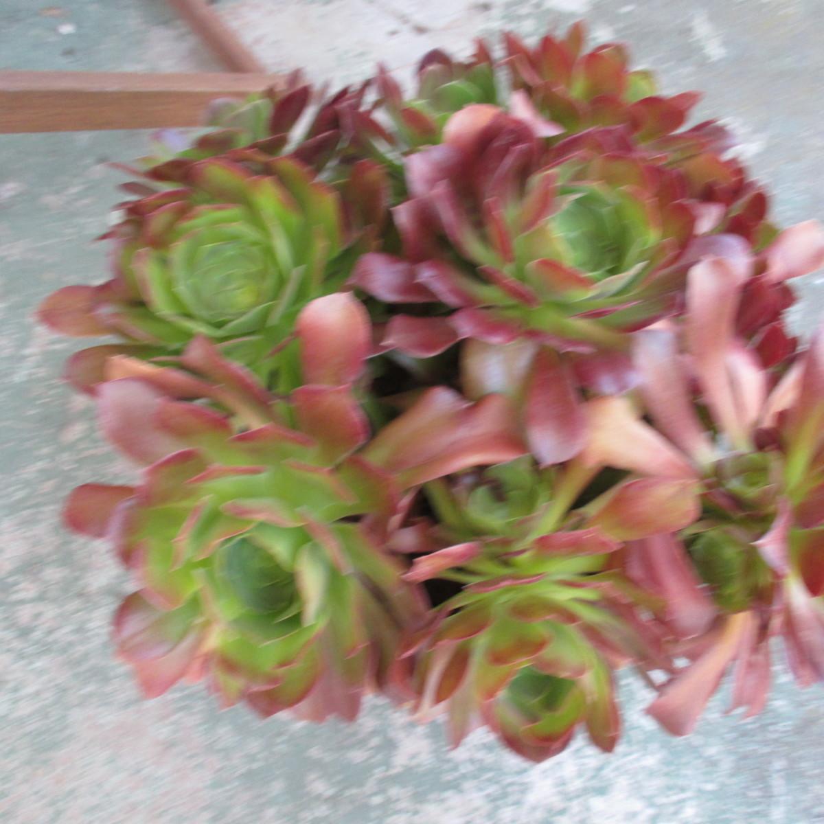 Blushing Beauty Aeonium