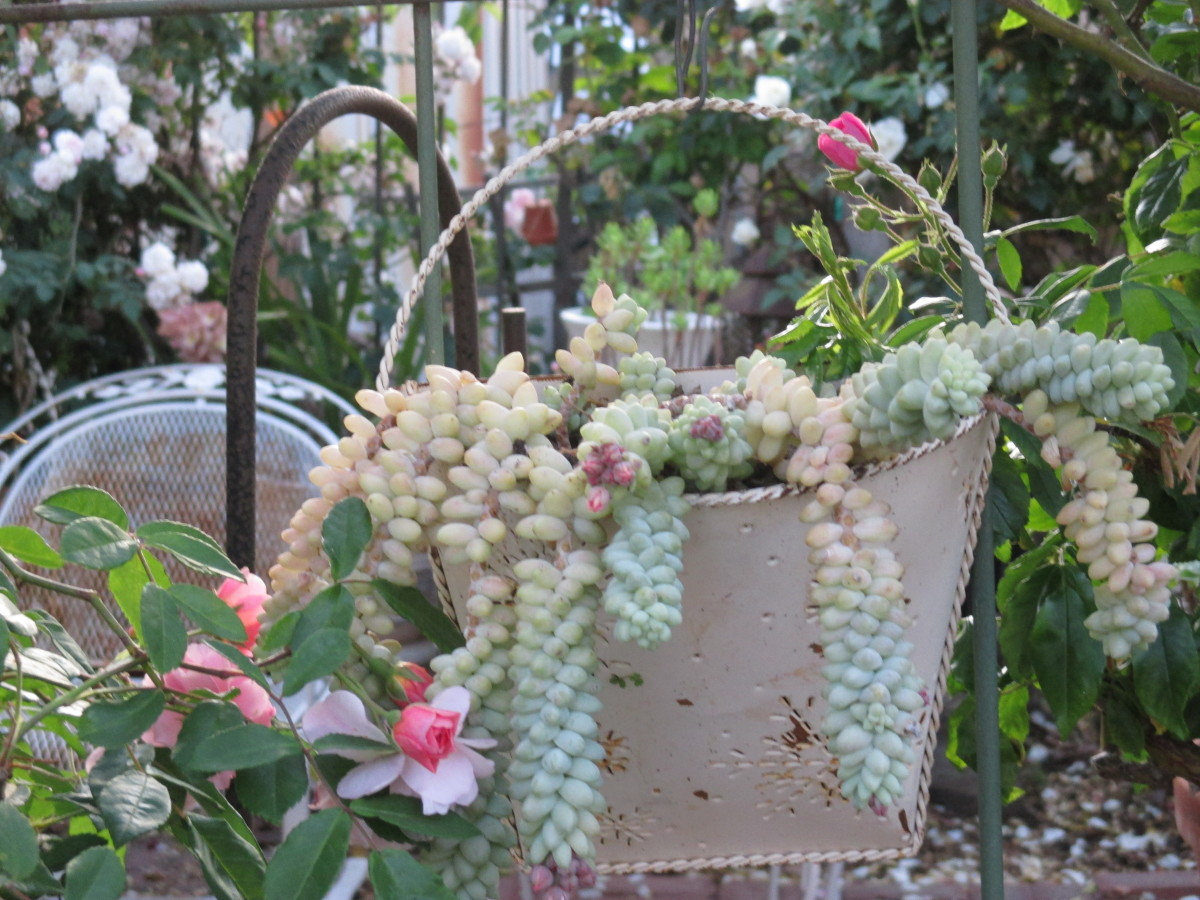 Donkey tails that have been cut from a larger plant and planted in this hanging tin.