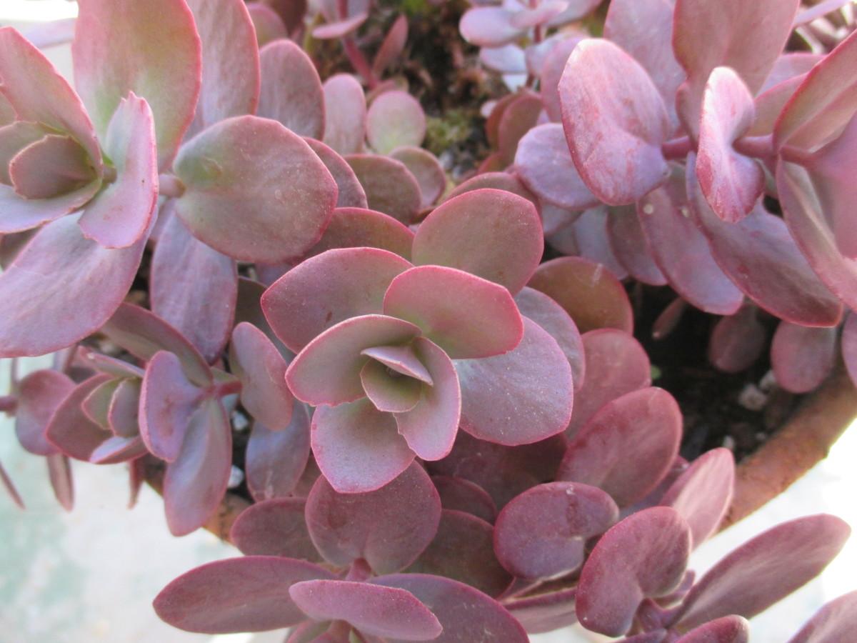 Sedum Vera Jameson....Deep puple leaves that produce clusters of pink star shaped flowers.