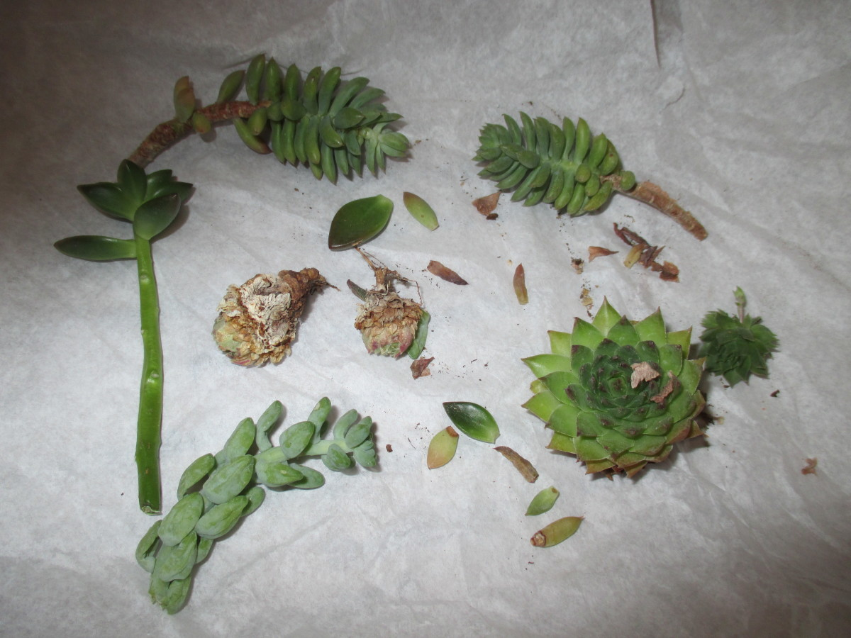 To my delight , these are the Leaves, cuttings and baby succulents I received in the mail from far away friends.