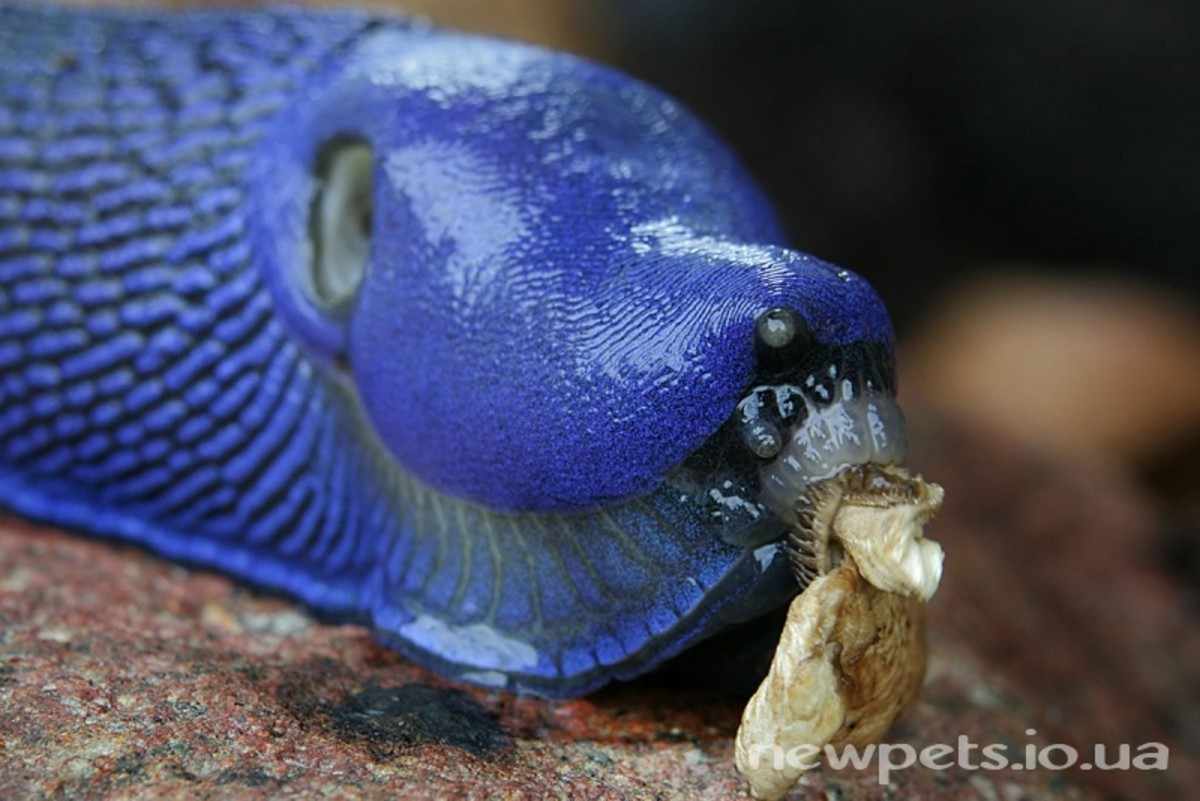 A carpathan blue slug - having its lunch.