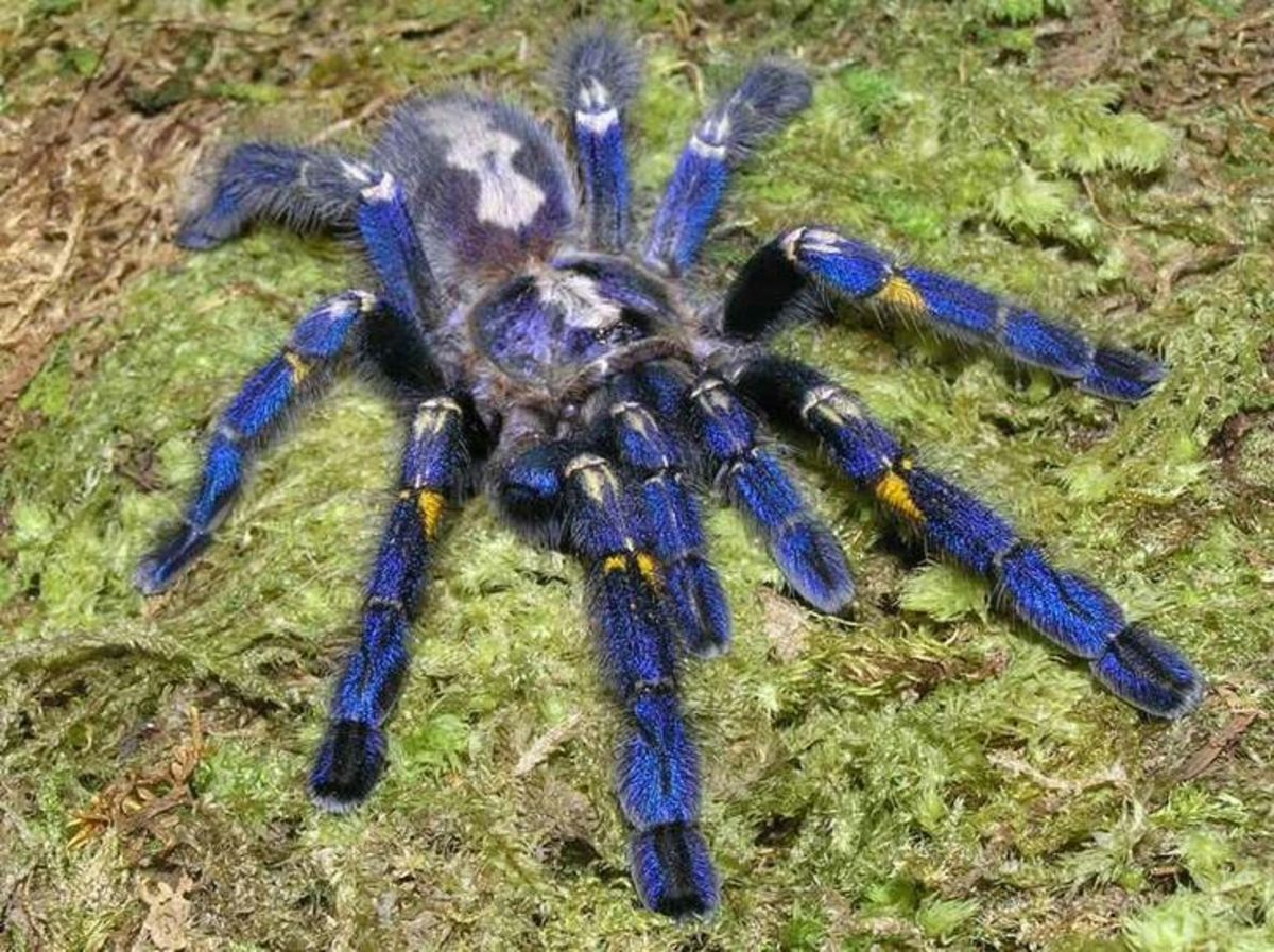 This is a blue ornamental sapphire gooty spider - found in the forest of Andhra Pradesh India, and named after the town of Gooty.  These guys are very fast and have a serious bite, so steer clear.