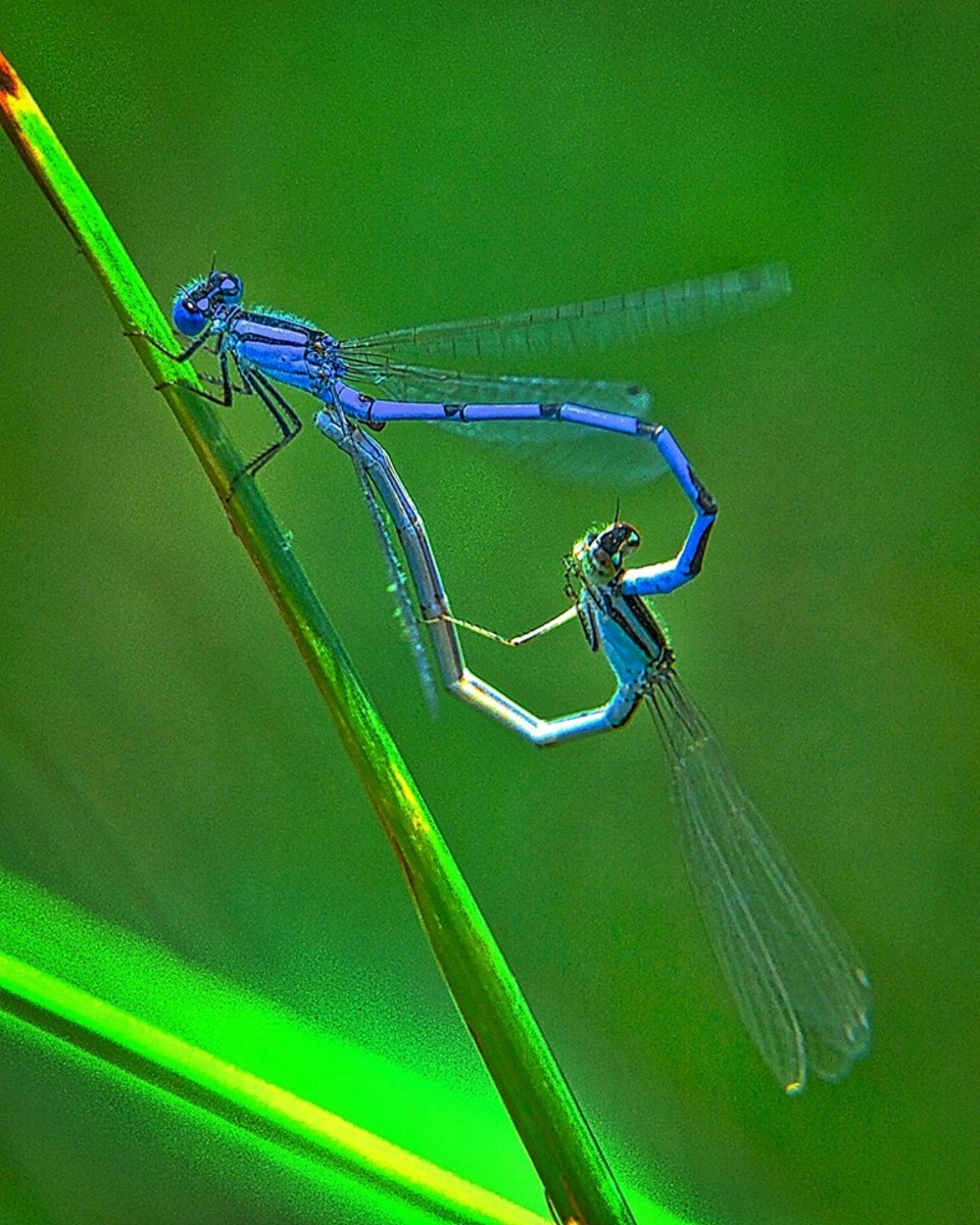 Two damselflies mating.