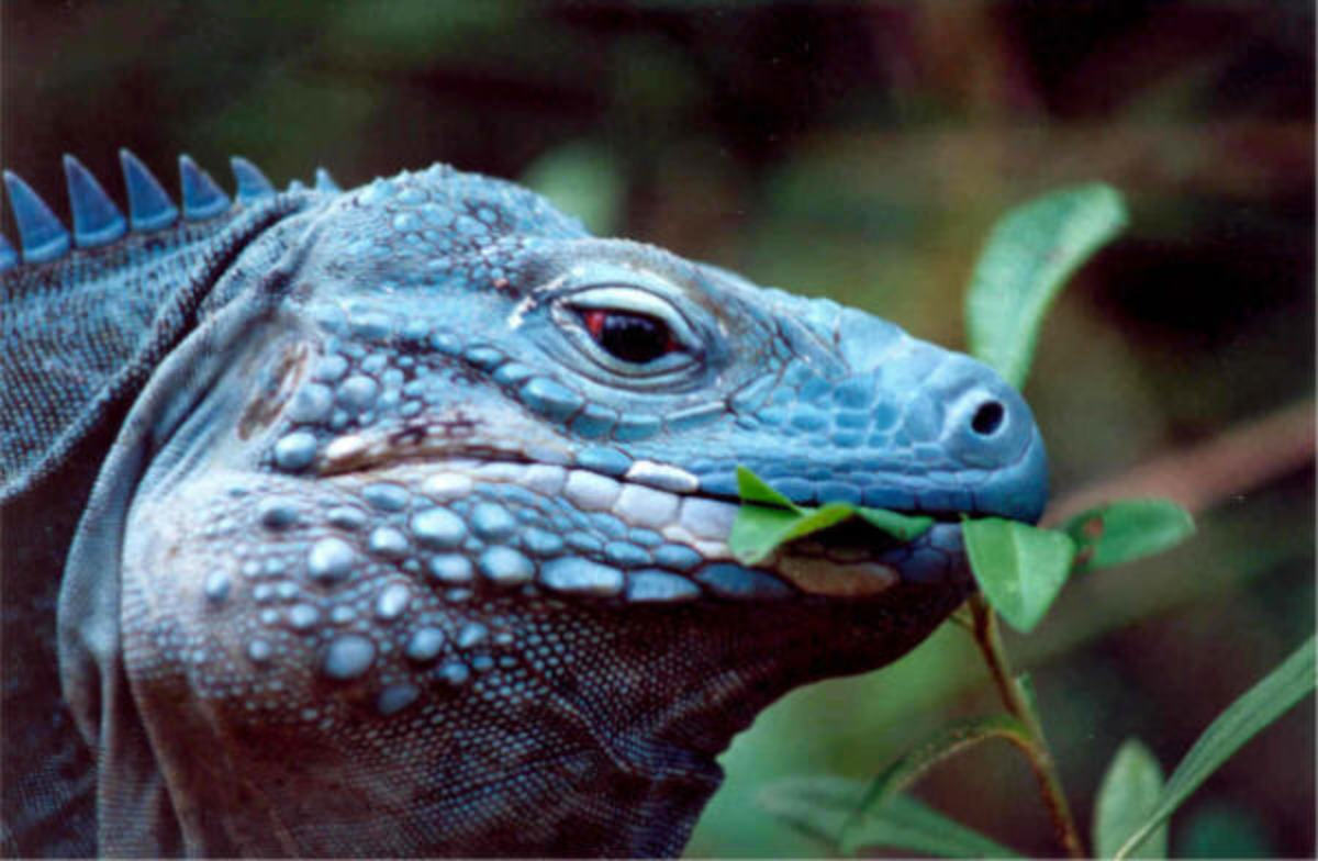 The critically-endangered blue iguana is found in the wild only on the Grand Caymen Island in the Caribbean, where they are considered emblematic creatures.