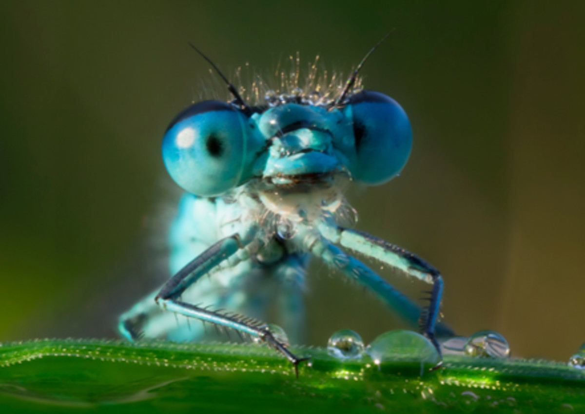 You may never get to see a blue dragonfly up close, but macro nature photographers  continue to keep us entertained and informed.