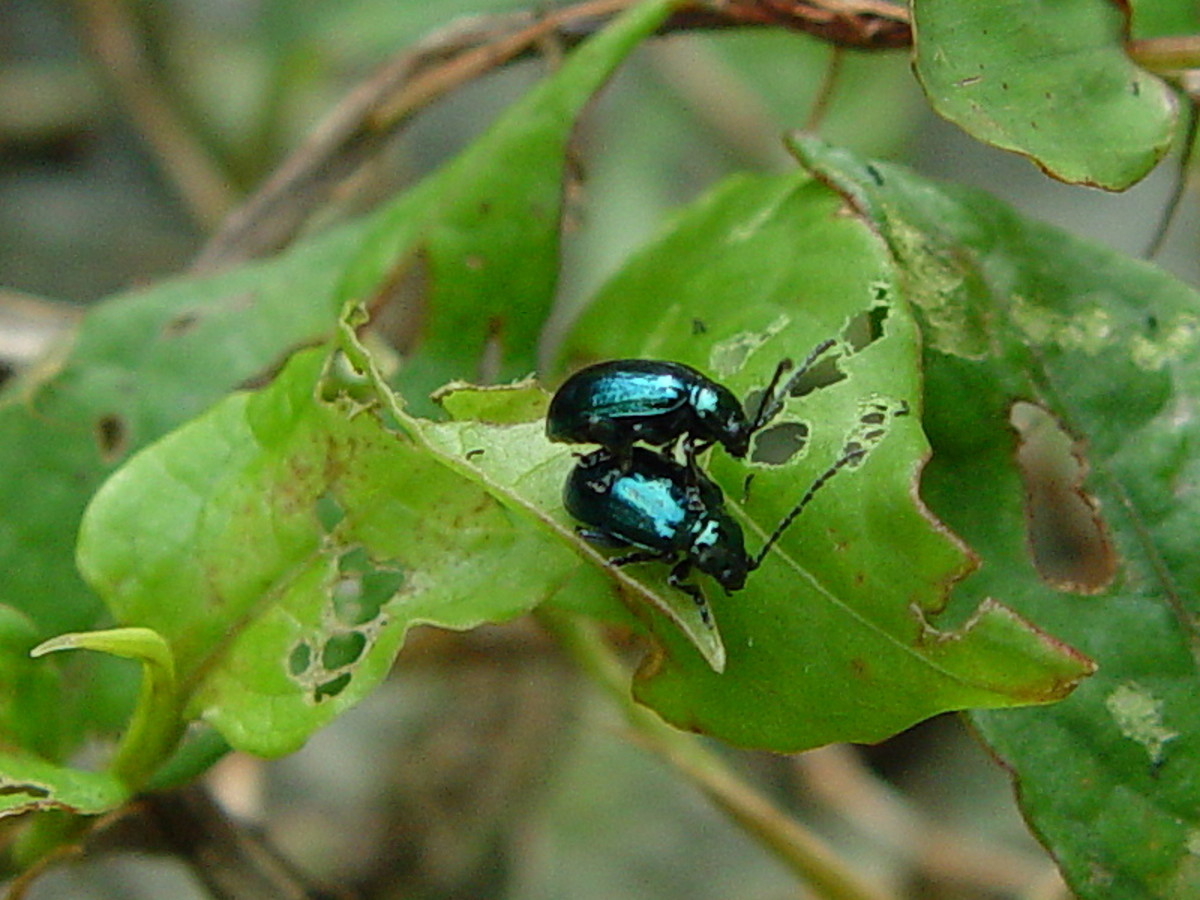 Two theopea blue beetles, native to Asia.