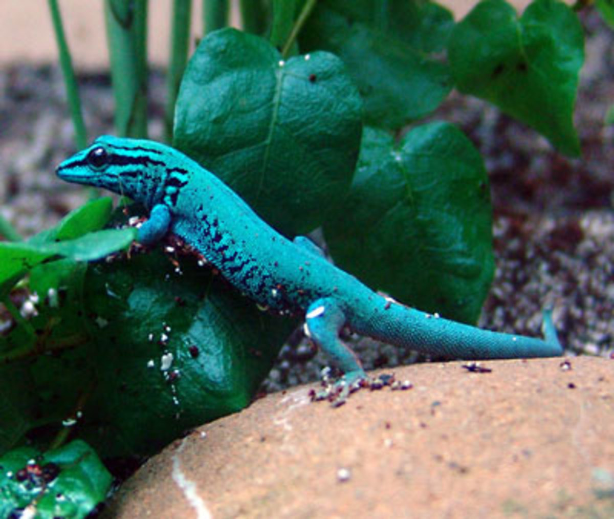 The electric blue gecko, which is found mainly in eastern Tanzania.  These shy creatures are tiny (usually about two to two and a half inches long), but have a lifespan of up to 10 years.  They love sunshine!