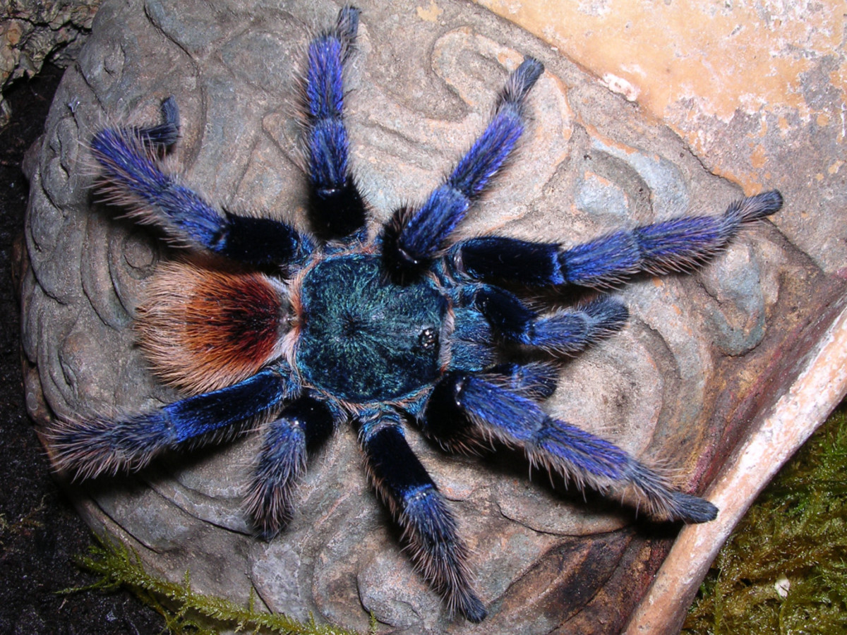 This is an adult male greenbottle blue (Chromatopelma cyaneopubescens) tarantula, native to Venezuela.