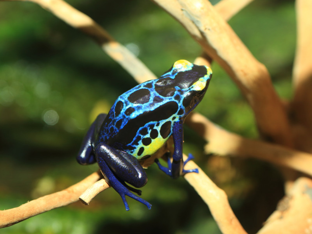 This blue, black and yellow amphibian is called the dyeing poison dart frog (Dendrobates tinctorius) - found in small isolated areas in French Guinea and northeastern Brazil.  They are highly toxic!