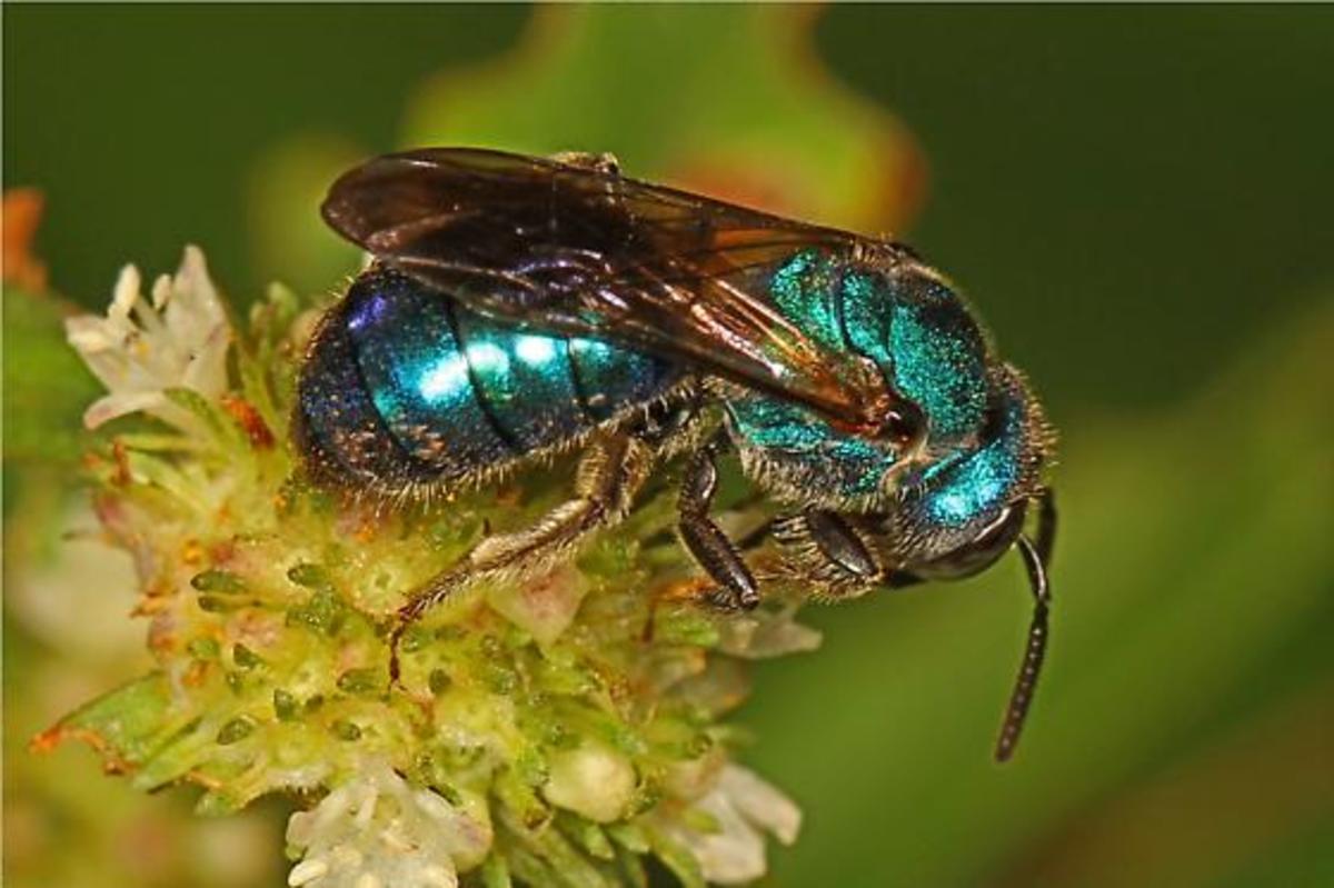 A metallic blue bee (Augochlora pura) -  photographed in Florida.