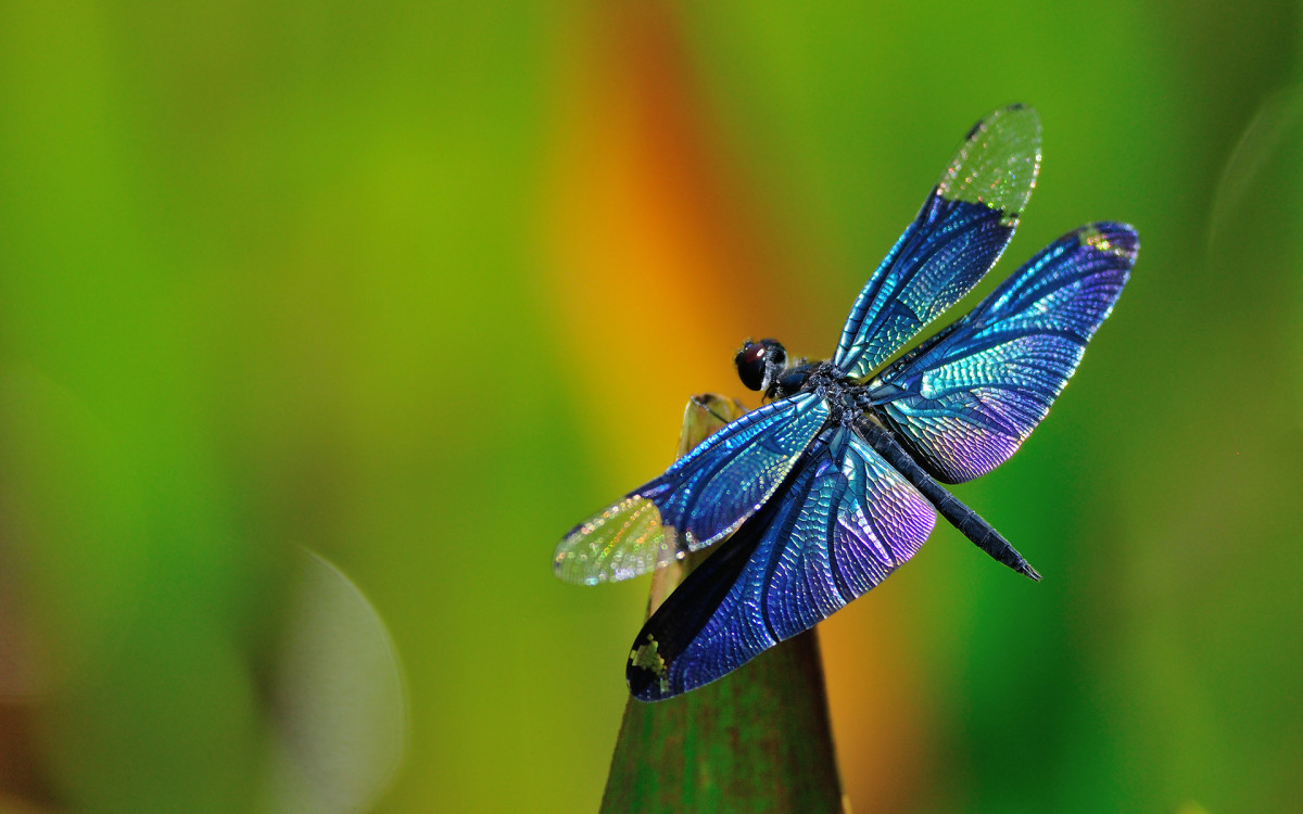 There's no need to be afraid of this beautiful blue dragonfly.  He won't sting or bite, but can fly up to about 30 miles per hour, so if you blink you may miss him.  Check for these guys around water.
