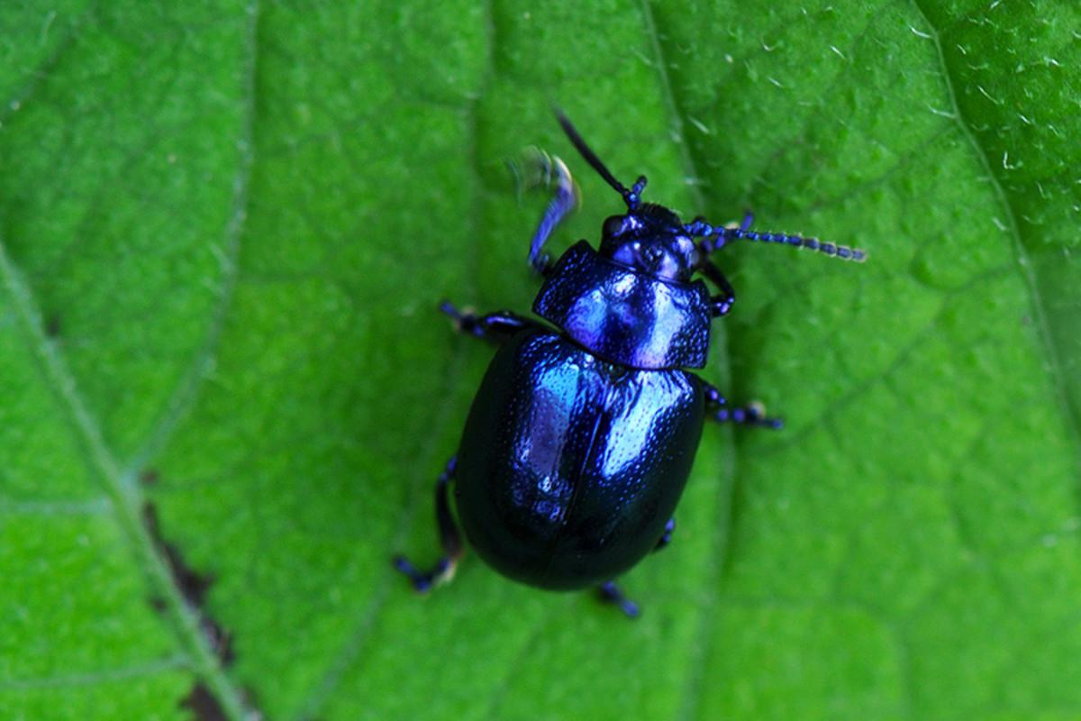 A blue mint beetle (Chrysolina coerulans) - native to the United Kingdom.