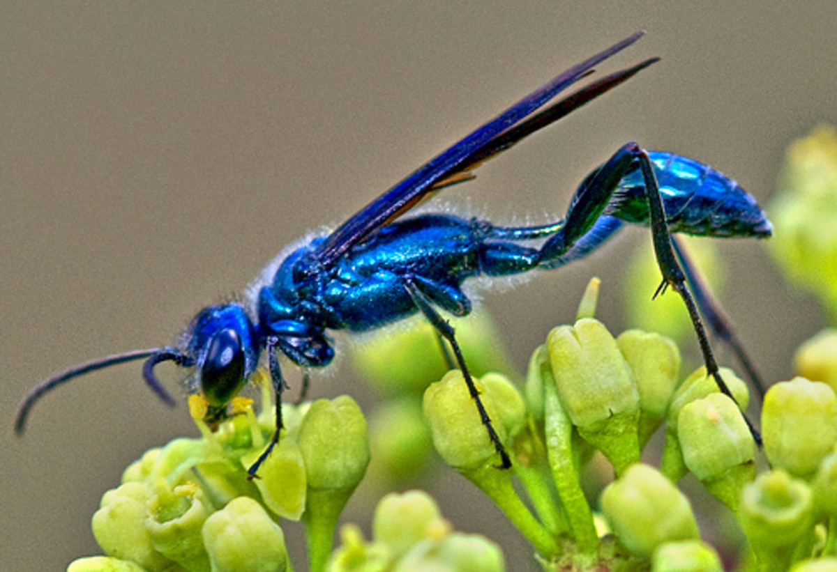 This is the Chalybion californicum (blue mud dauber), which preys upon spiders.