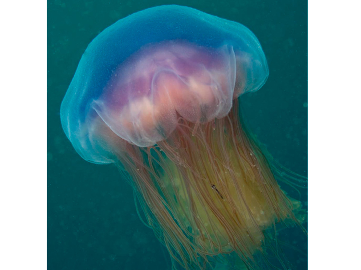 This is a blue jellyfish (Cyanea lamarckii) photographed out in open waters.   Young specimens have no color, but they take on color as they mature.