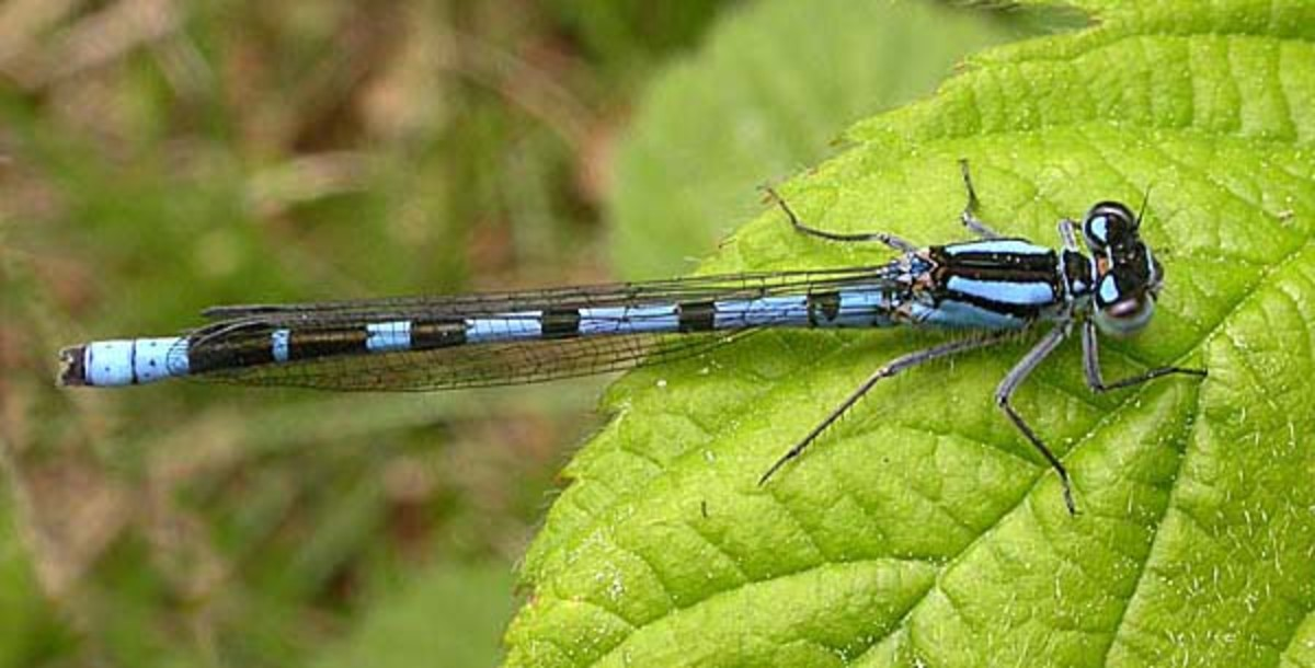 A male nallagma cyathigerum (common blue damselfly).