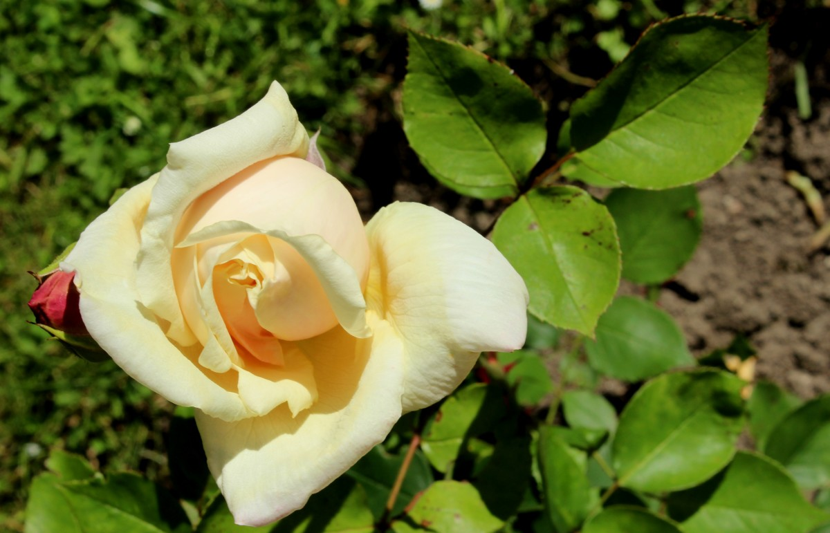 "The Woman Rises as a Rose: Repetition in ""Gloire De Dijon"""