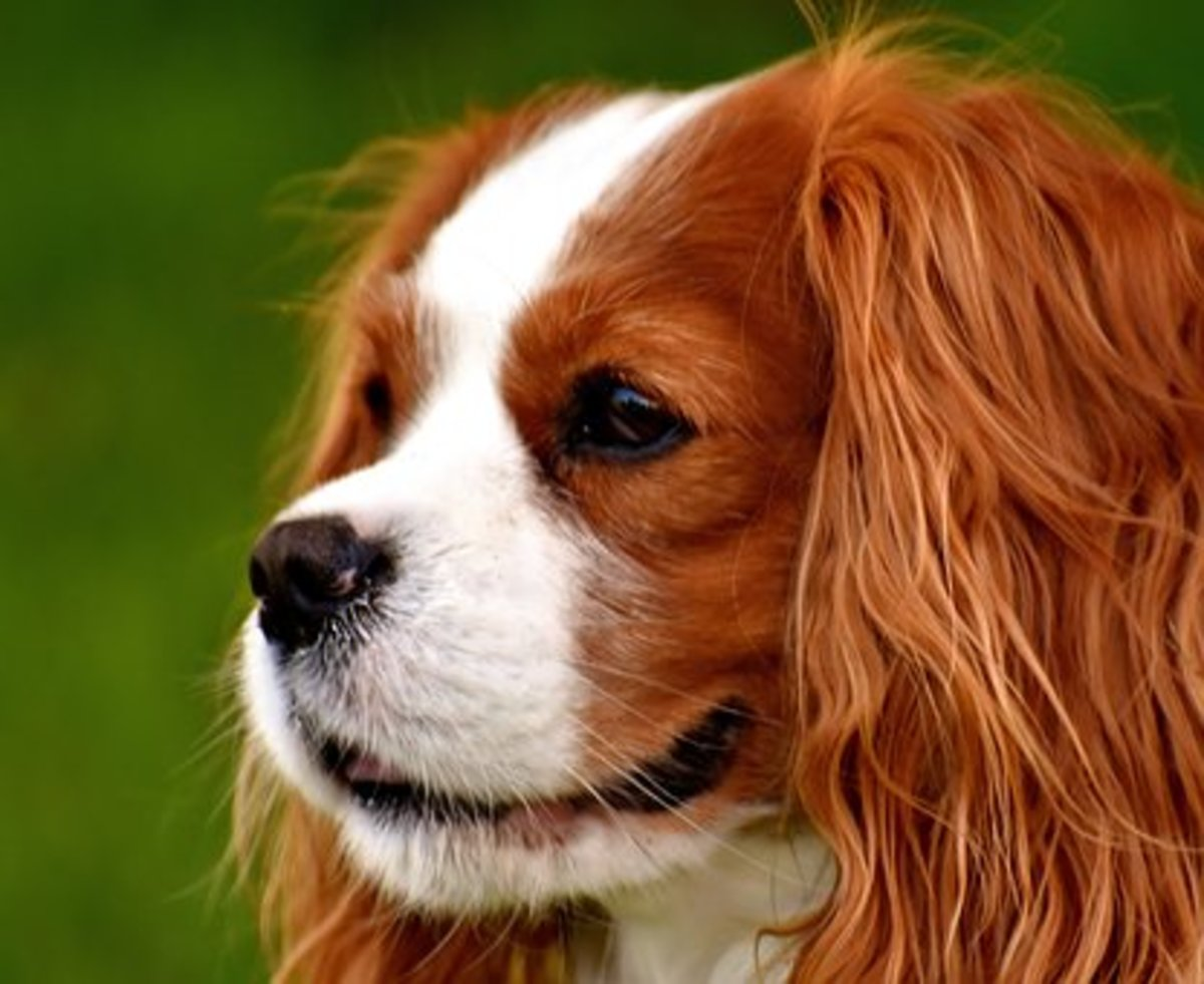 Male spaniel waiting for a Native American name from the Cherokee tribe.