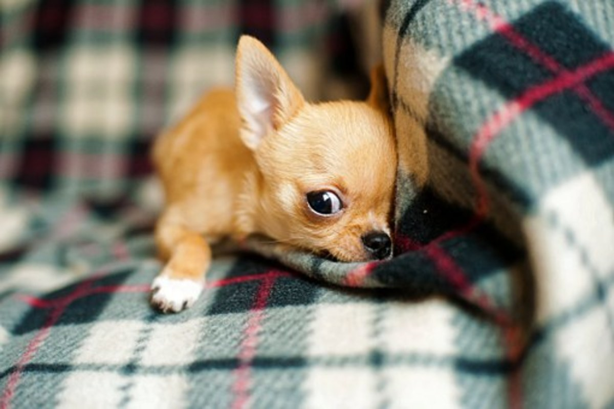 This little Chihuahua looks like he has enough personality to be named Seqouyah!