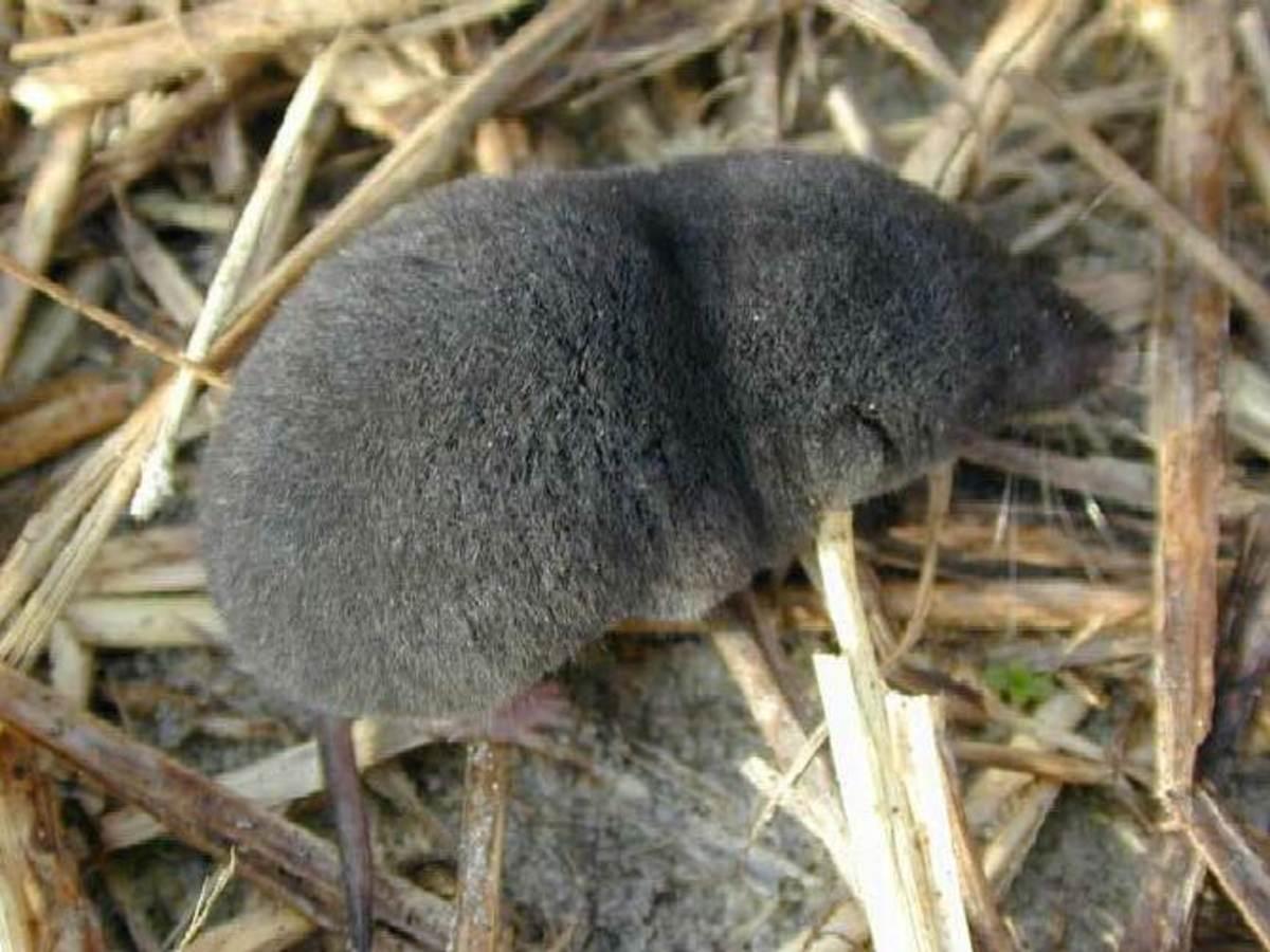 Southern short-tailed shrew (Blarina carolinensis)