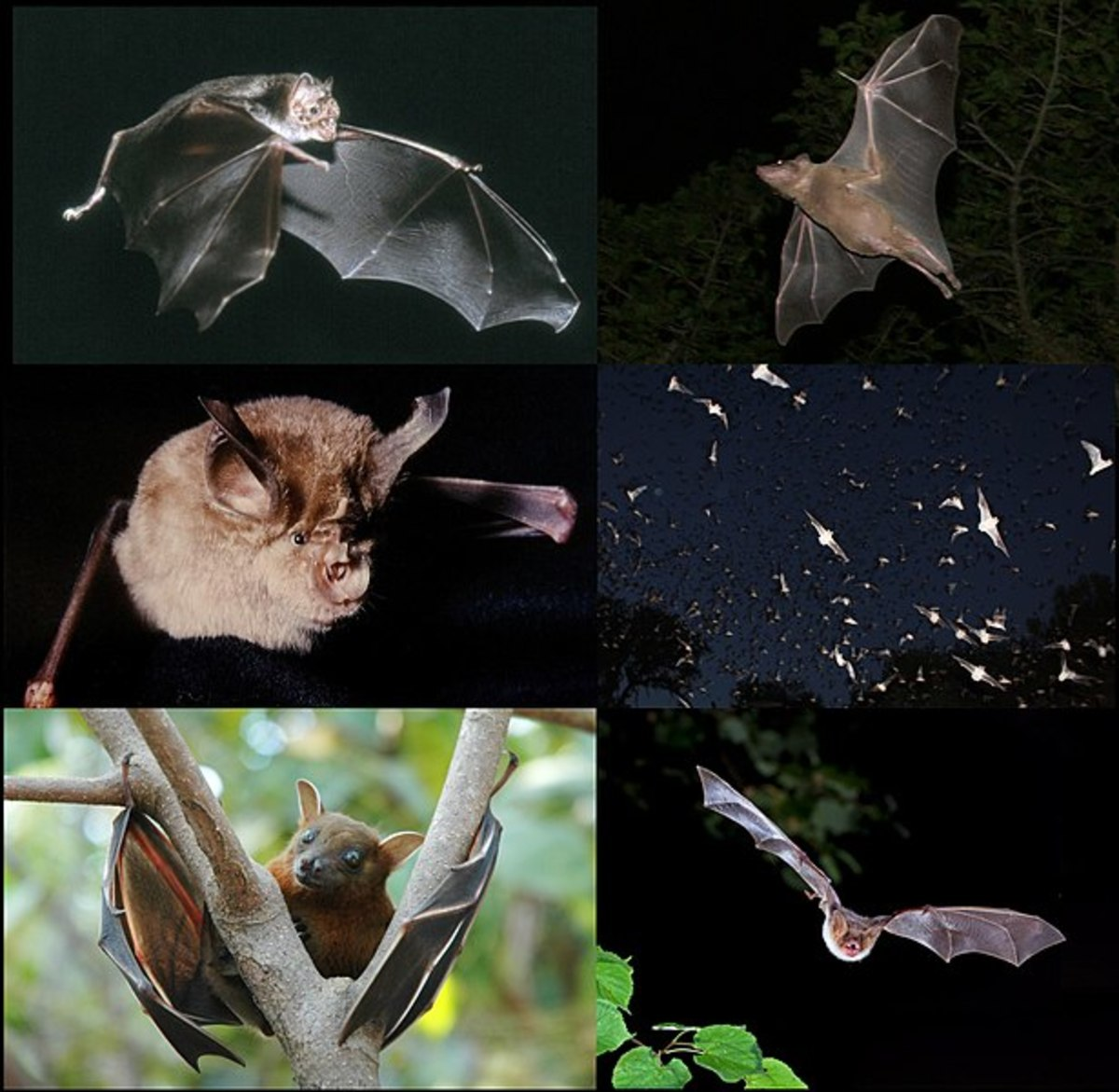 Clockwise: Common Egyptian Fruit Bat Rousettus aegyptiacus, Mexican Free-Tail Bat Tadarida brasiliensis, Myotis myotis, Lesser Short-Nose Fruit Bat Cynopterus sphinx, Horseshoe Bat Rhinolophus ferrumequinum, Common Vampire Bat Desmodus rotundus