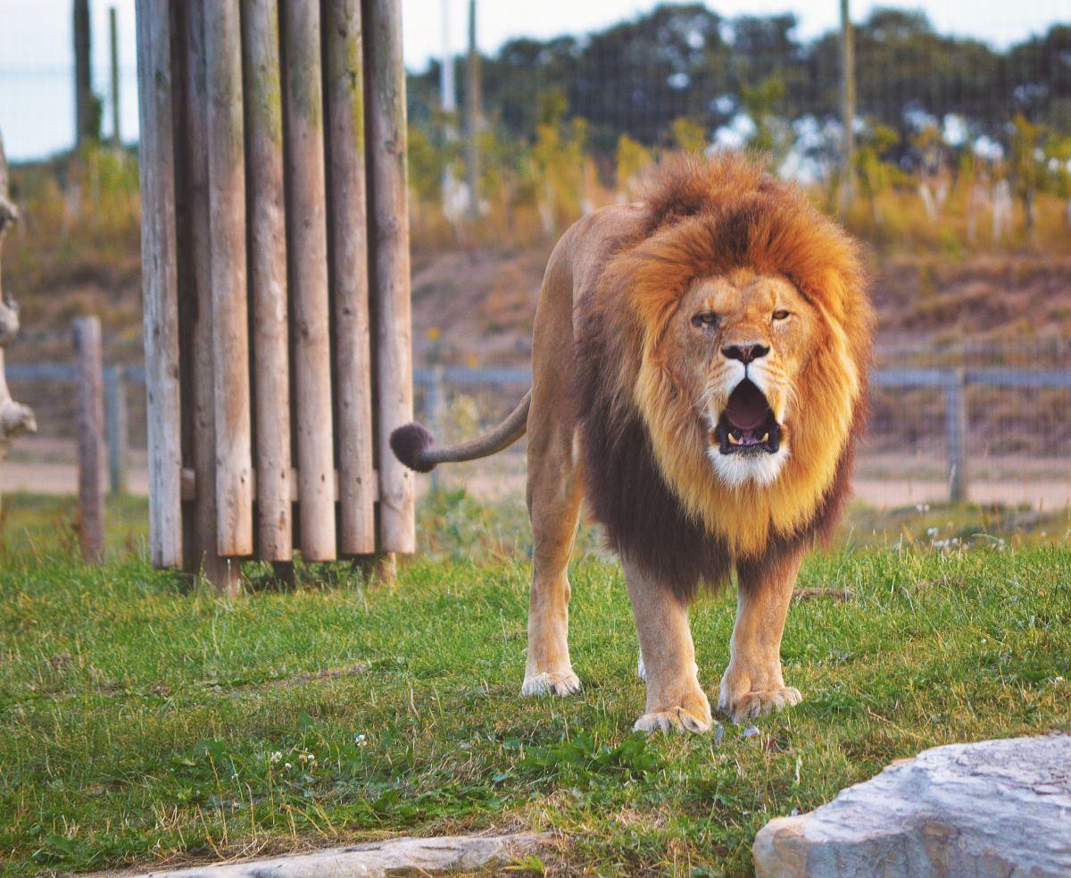why-do-lions-roar