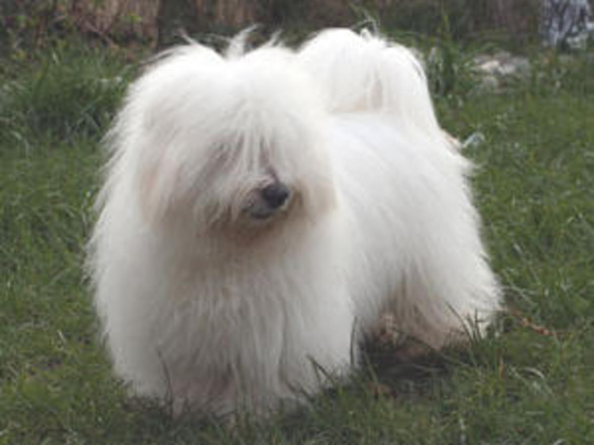 This is a Long Haired Coton