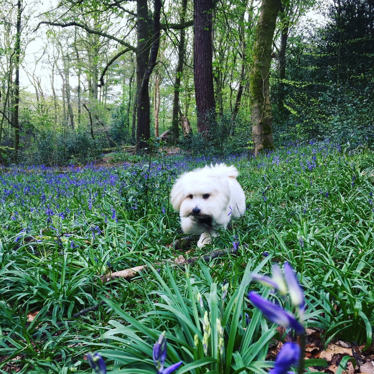 Amongst the bluebells
