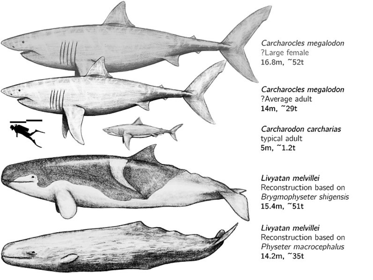 The tiny shark in the middle is a great white. According to a popular theory, they could also have contributed to megalodon's extinction.