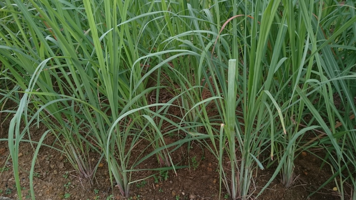 4 Amazing Health Benefits of Lemongrass—An Aromatic Plant