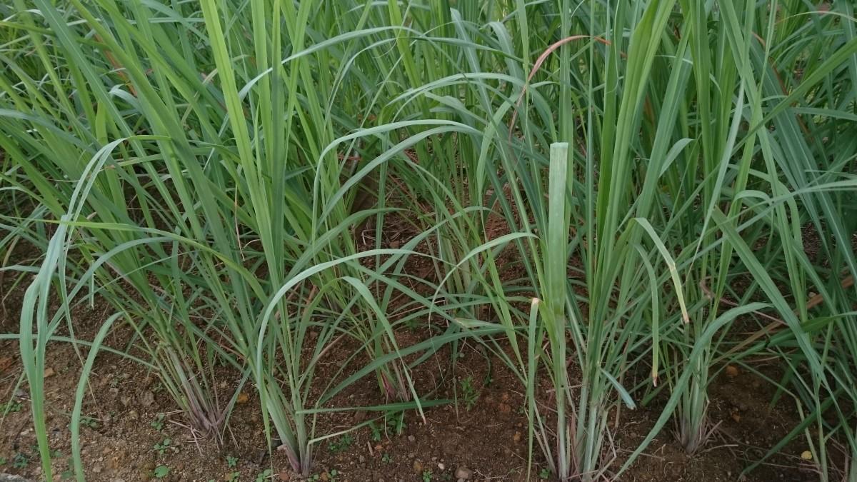 4-amazing-health-benefits-of-lemongrass-an-aromatic-plant