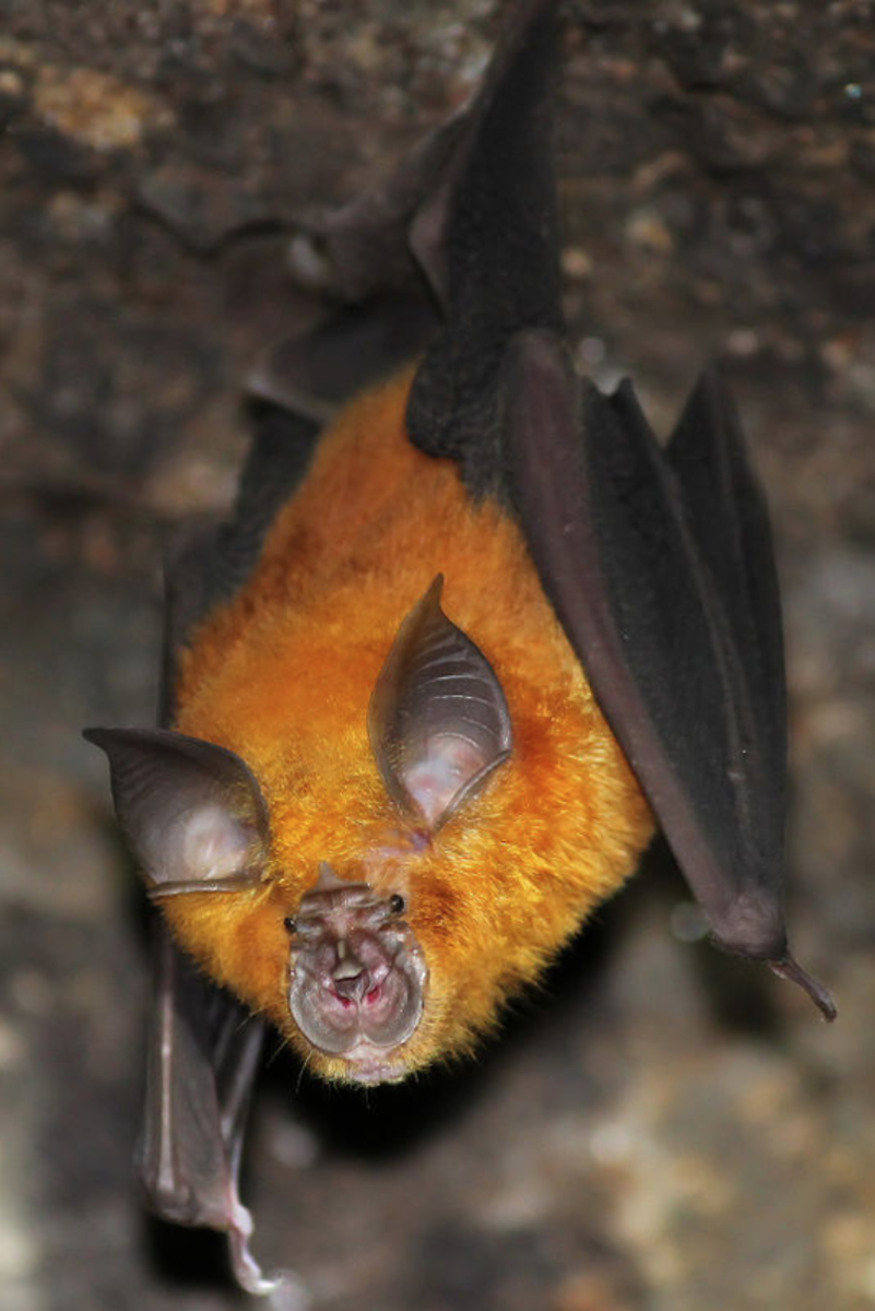Horseshoe Bat (Rhinolophus hipposideros)