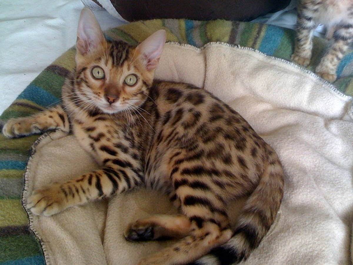 Domestic Bengal Cats are regal looking, but playful and fun