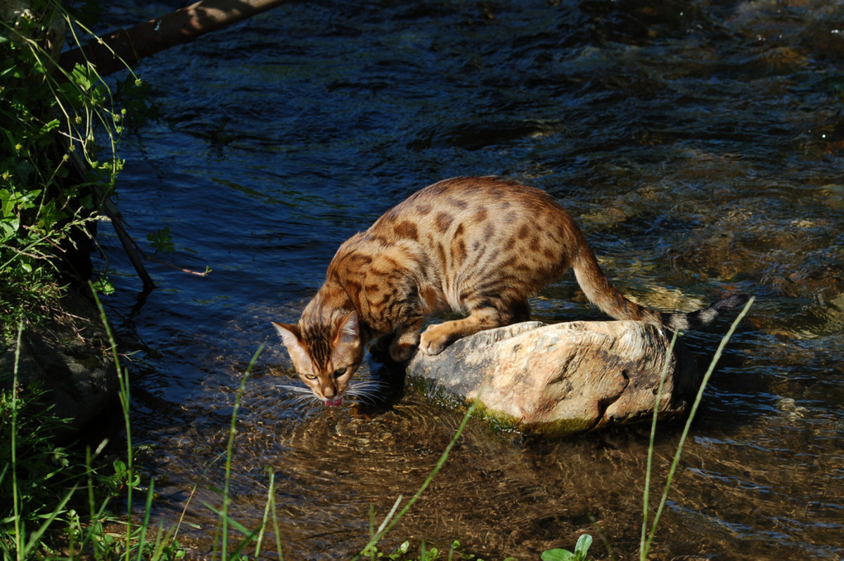 Brown spotted coat on a Domestic Bengal Cat