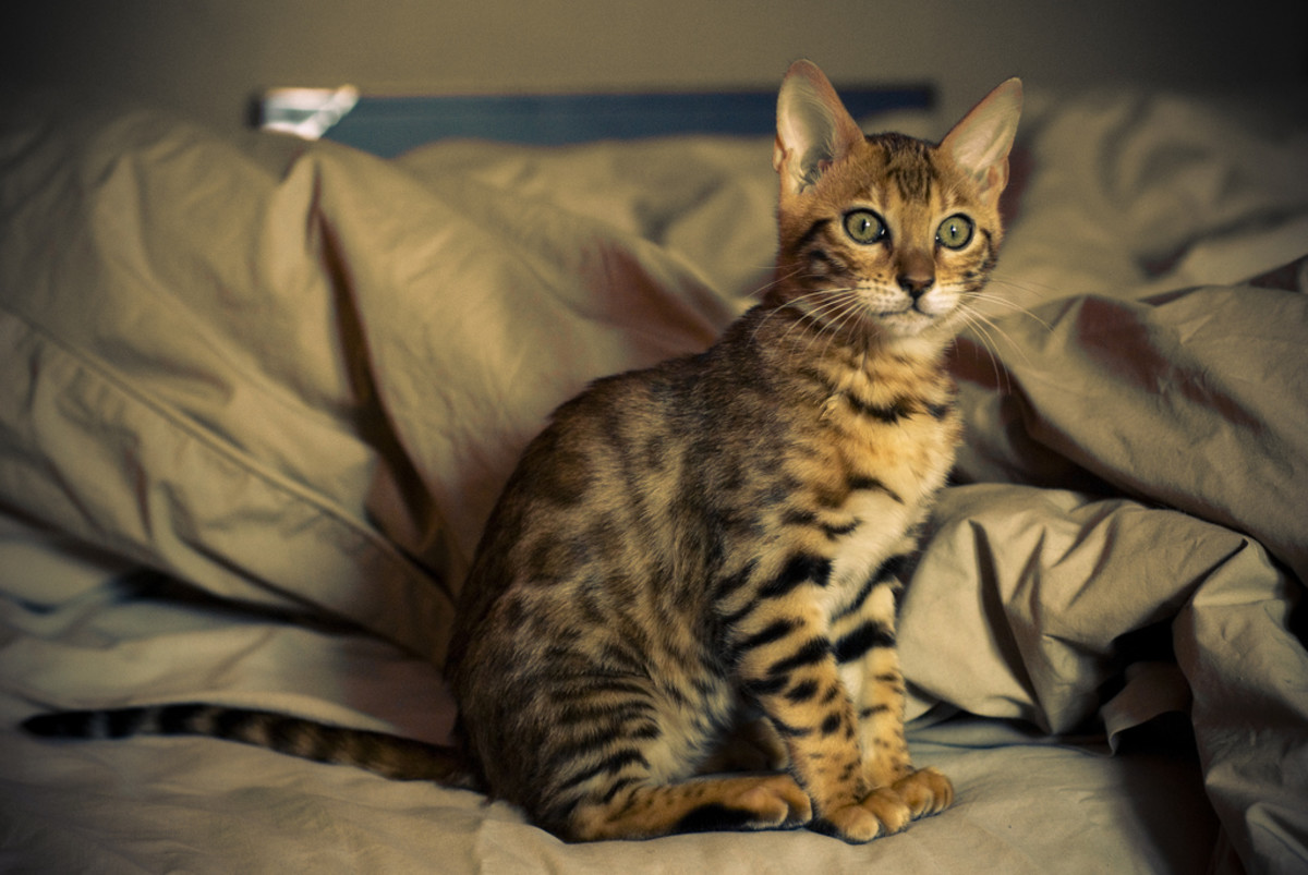 Love this domestic bengal cat kitten!