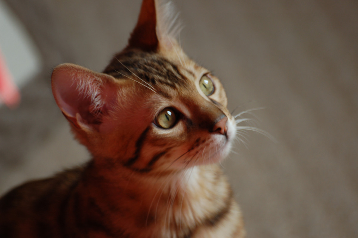 A beautiful domestic Bengal Cat