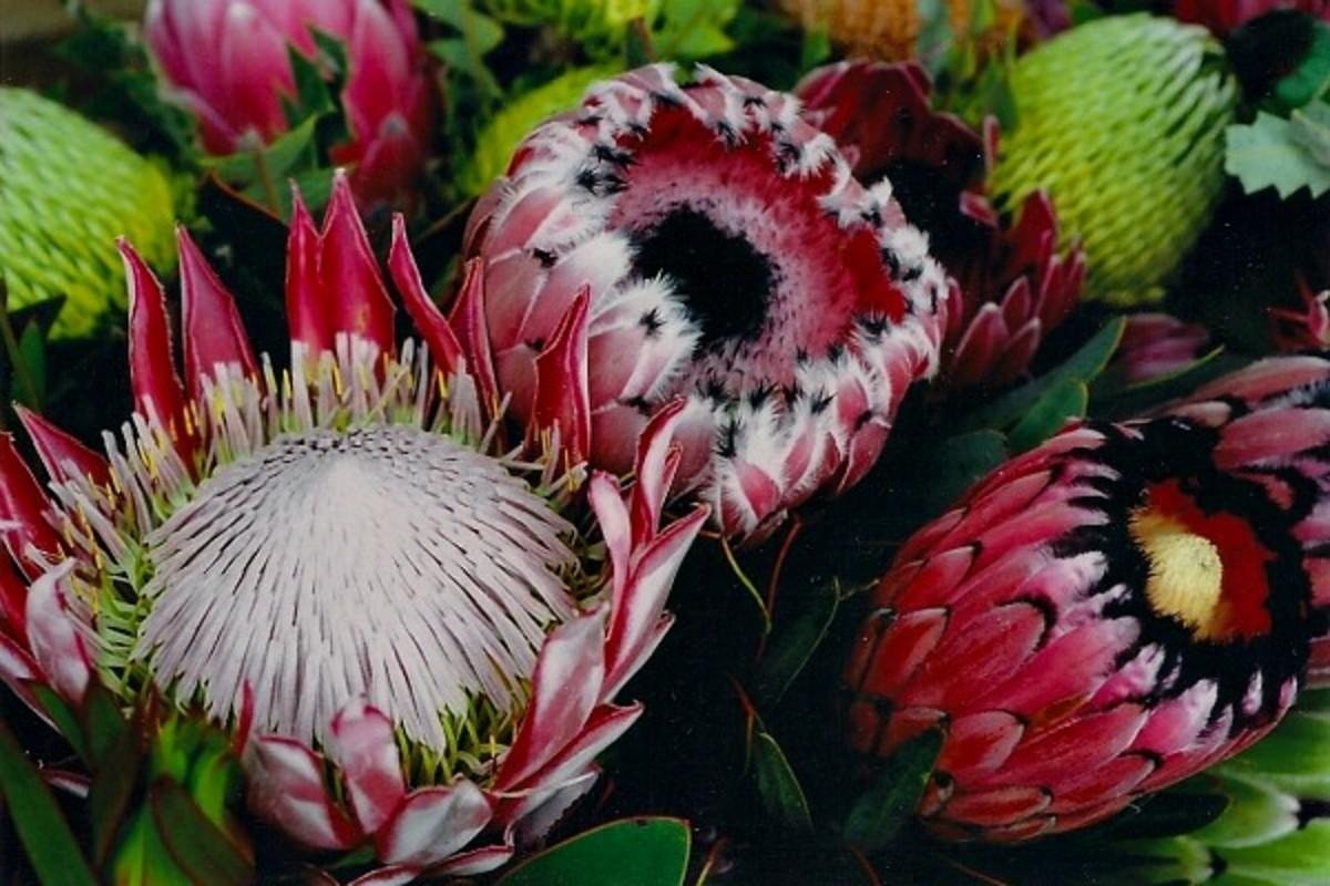 Protea Flowers - Maui Agricultural Research Center, UOH, Kula, Maui