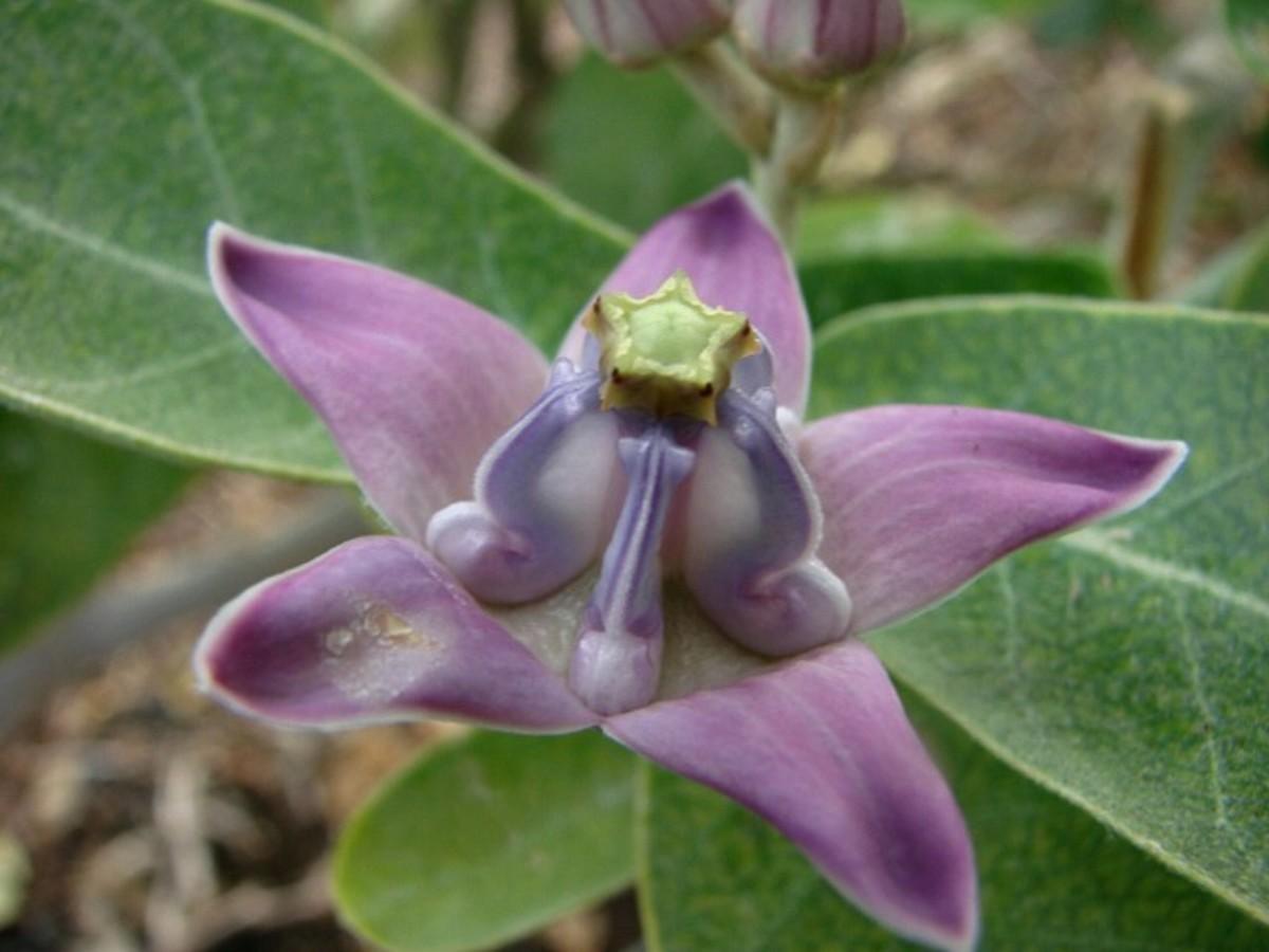 Crown Flower - Pua Kalaunu