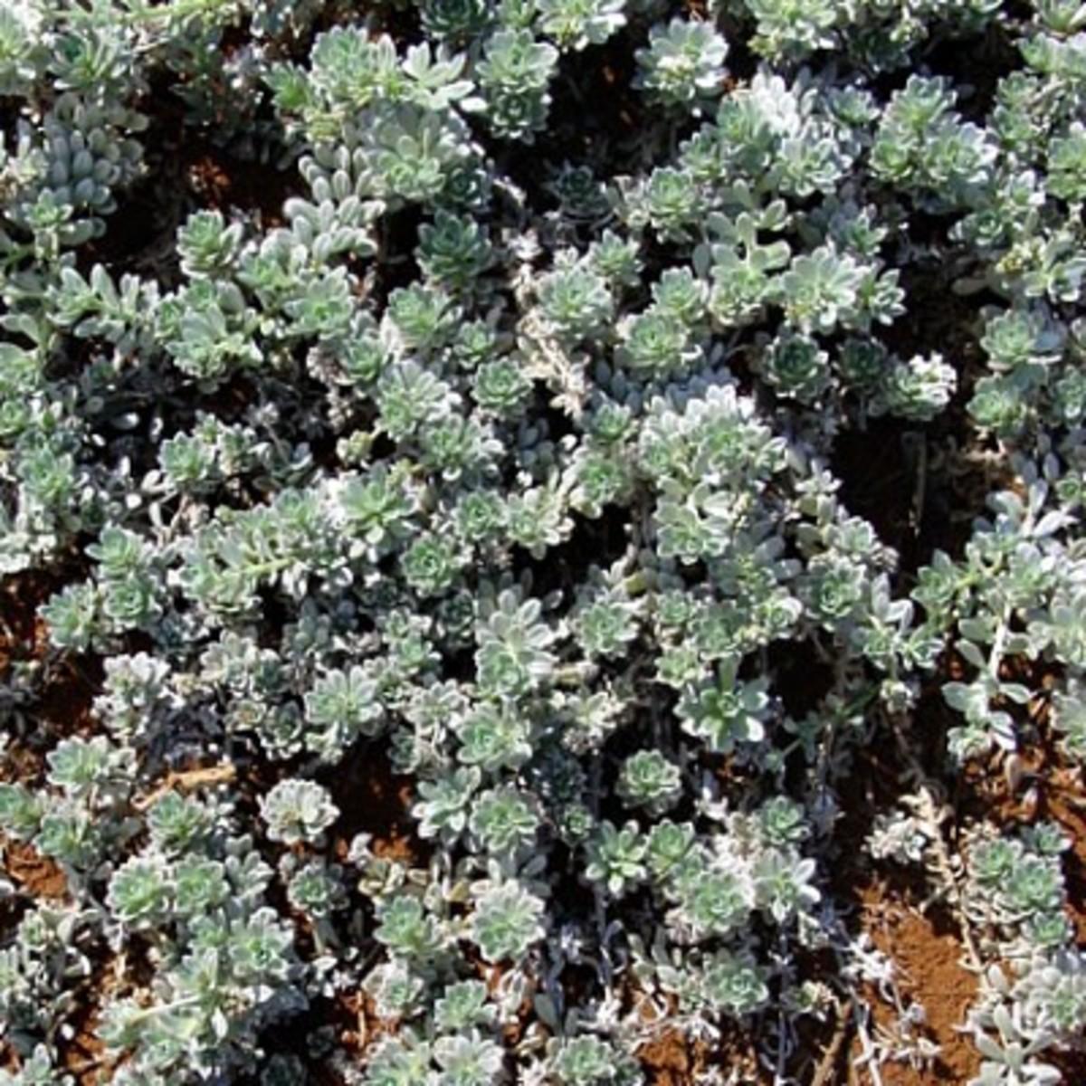Hinahina Plant ~ Heliotropium Anomalum