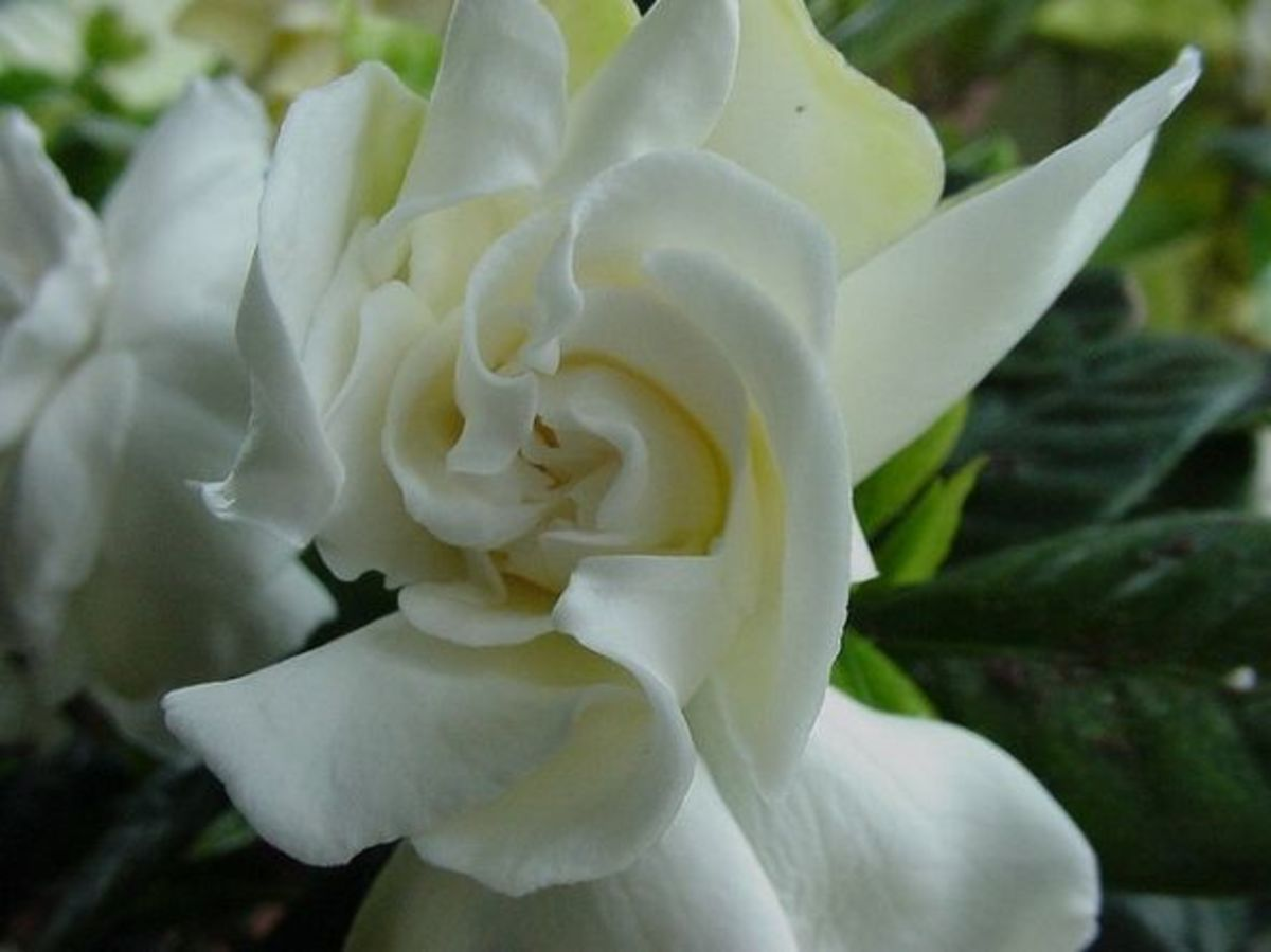 White Gardenia Bud in Bloom