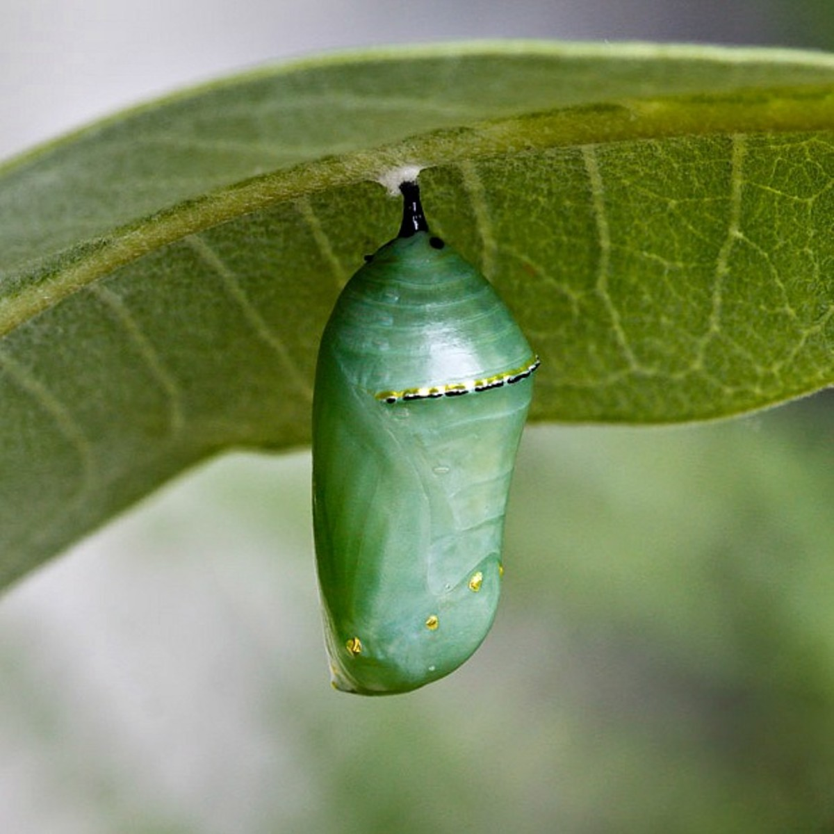 Monarch Chrysalis - Butterfly Life Cycles