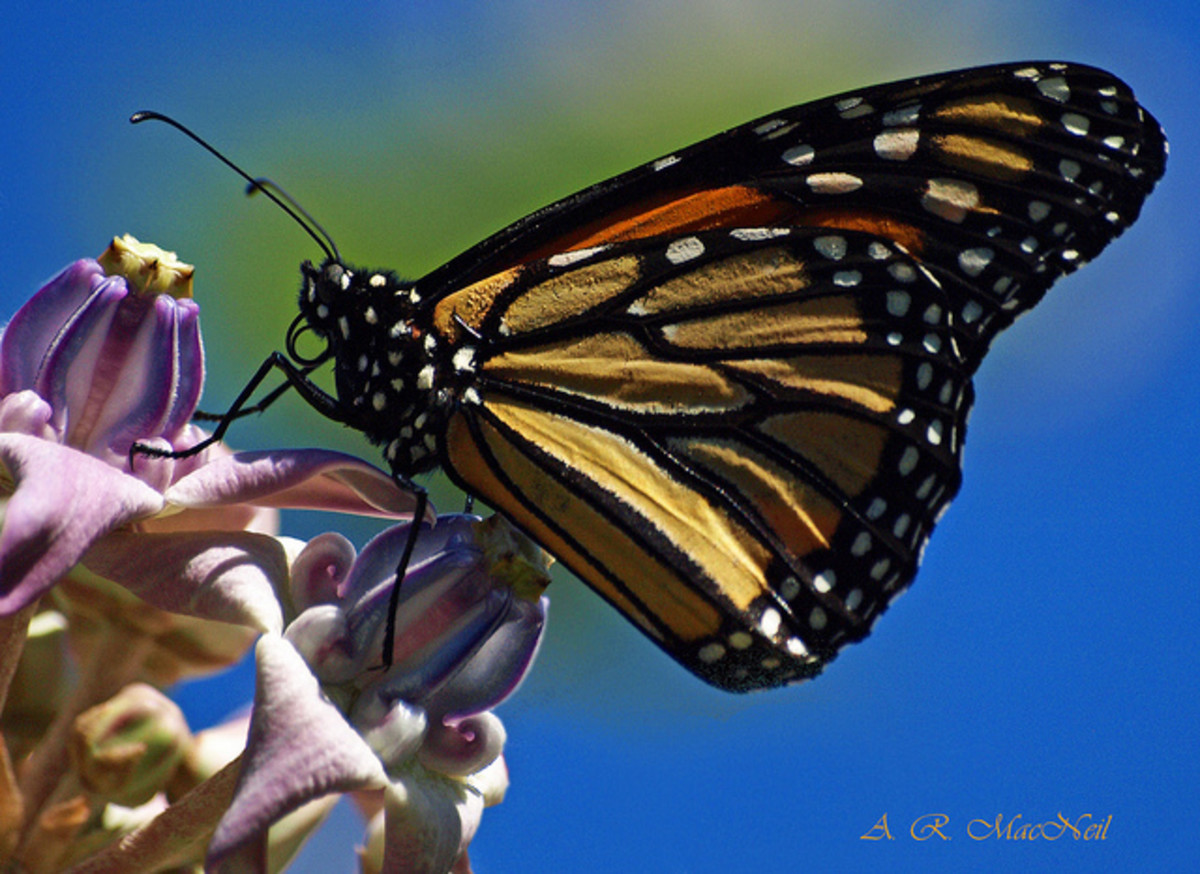 Monarch Butterfly Feeding on Crown Flower