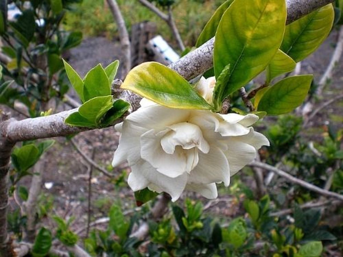 Common Double Gardenia
