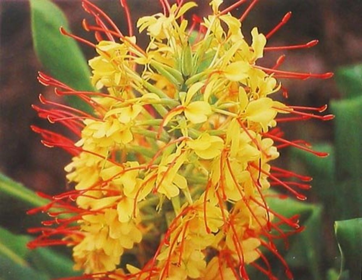 Hawaiian Kahili Ginger Plant