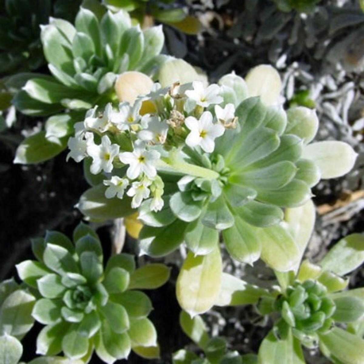 Hinahina Flower~ Heliotropium Anomalum