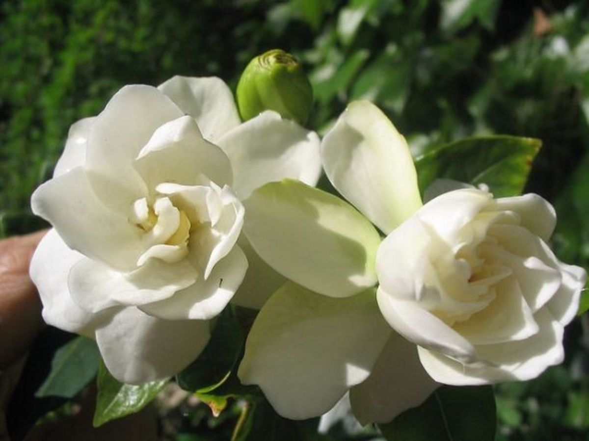 Two Gardenia Blossoms