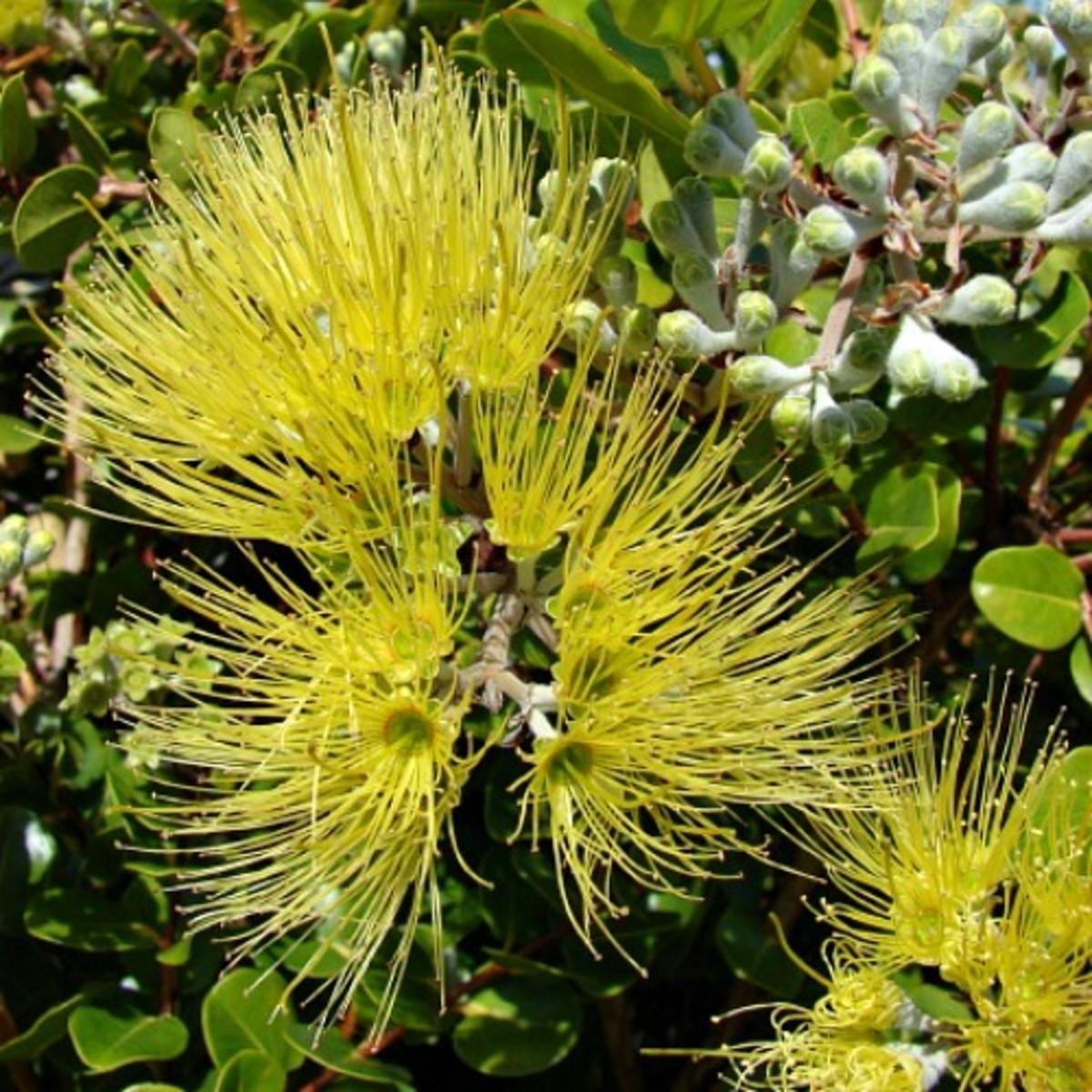 Yellow Lehua Blossom - pua mele o' kapa