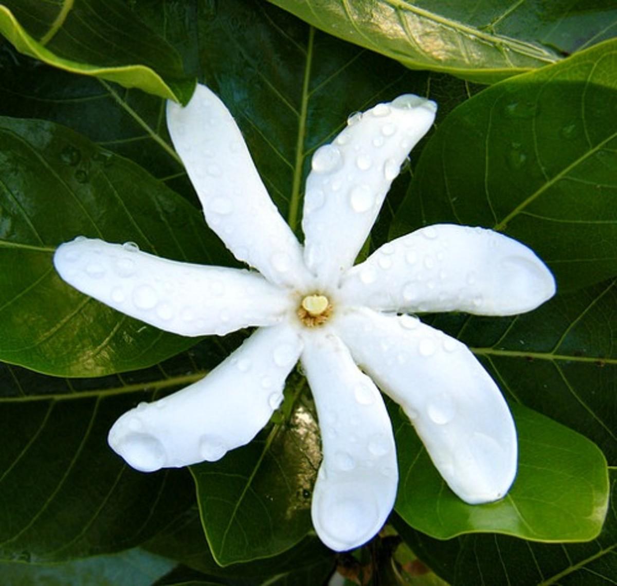 Tahitian Gardenia