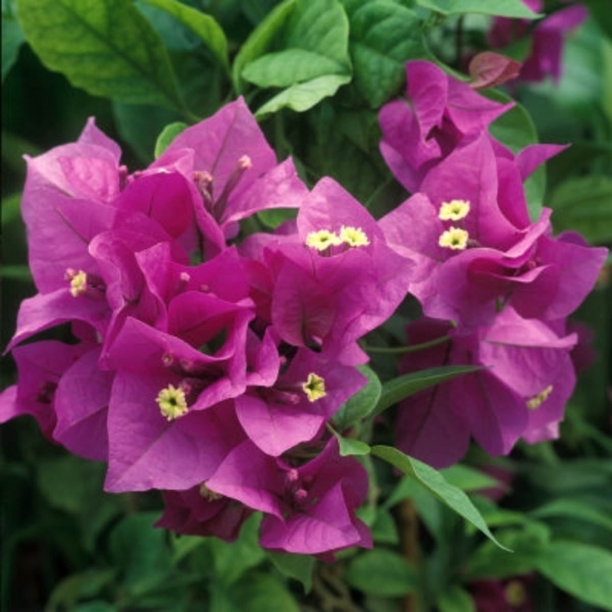 Hawaii bougainvilleas flowers