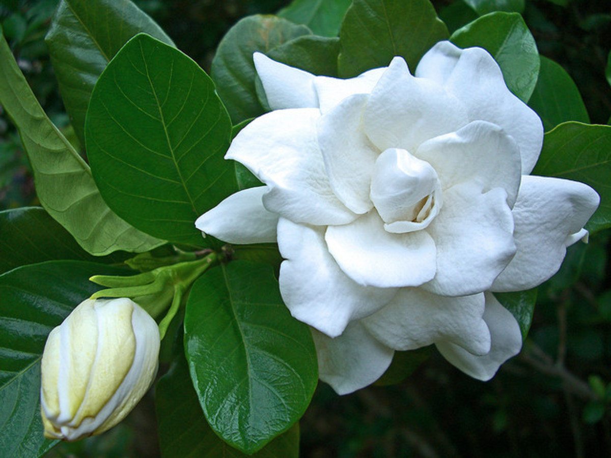 Hawaii Common Gardenia